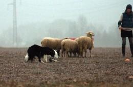 Fontanafredda-Sheepdogtrial
